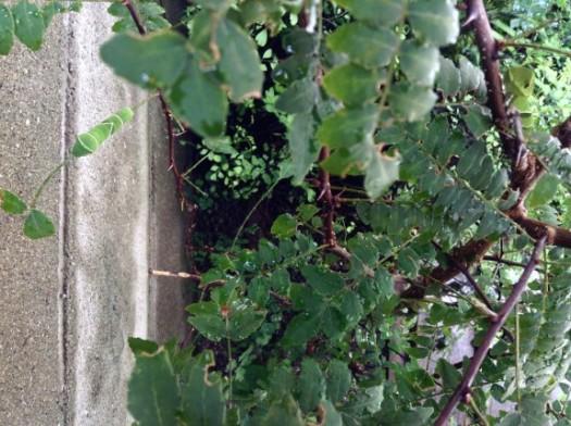 山椒とアゲハの幼虫